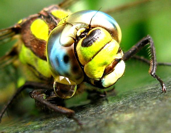 глаз стрекозы при увеличении