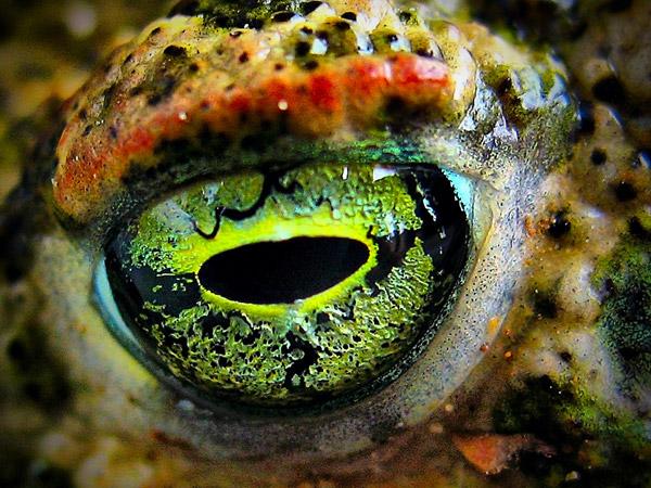 Глаз лягушки при увеличении