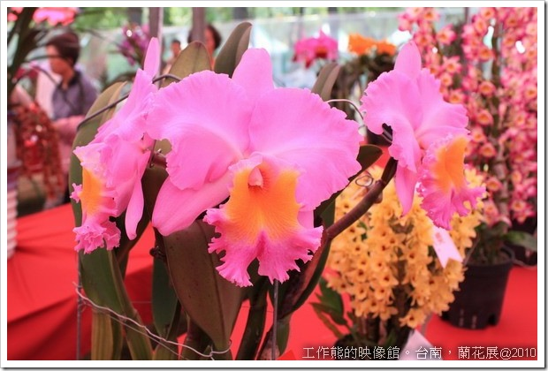 Tainan_orchid21