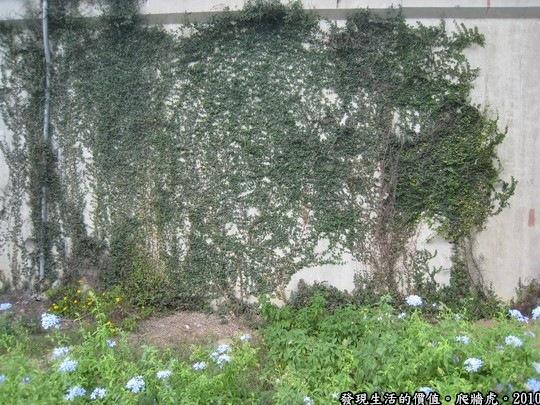 快爬滿整片牆的「爬牆虎」,它有向陽往上長得習性,看它好像只能依附在有形體牆壁上,無法超出牆壁往上長,所以不會讓人有雜草叢生的感覺。