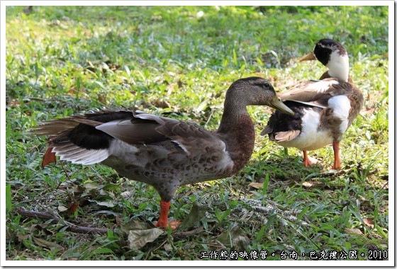 巴克禮紀念公園,公園的荷花池旁有幾隻鴨子正在伸懶腰做日光浴,我直覺可愛按下快門,看到我在拍牠,還一副不懷好意地看著我,眼神有點警戒!