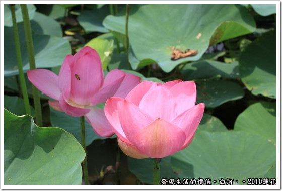 遊記,台南,白河,蓮花