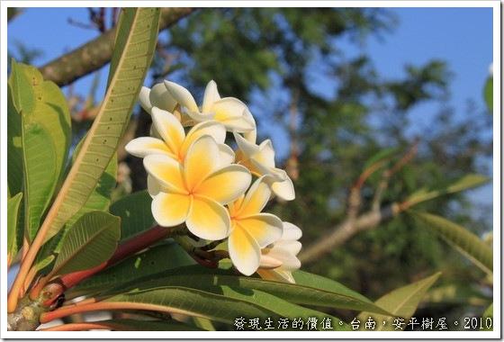 樹屋旁邊的住家種了一棵「雞蛋花」,正式名稱叫「緬梔」為夾竹桃科,我想是因為開花的顏色像極了蛋黃及蛋白的顏色吧,尤其是單看一片花瓣的時候,還真的會以為是一顆白煮蛋。
