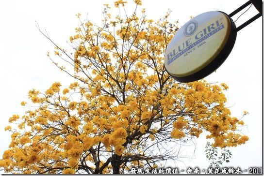 台南市林森路上的黃花風鈴木。