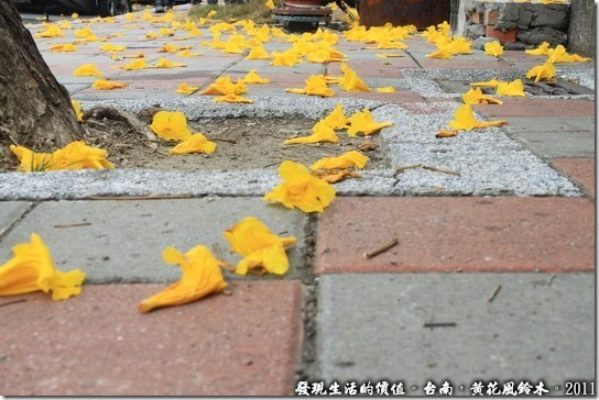 勸君有花堪賞直需賞,莫待無法空留恨!花兒的生命可是很短暫的! 拍攝的時候樹上的黃花頻頻地掉落,感慨滿地的黃花盛開只為那短暫的美麗!不過也正因為這樣才彌足珍貴。
