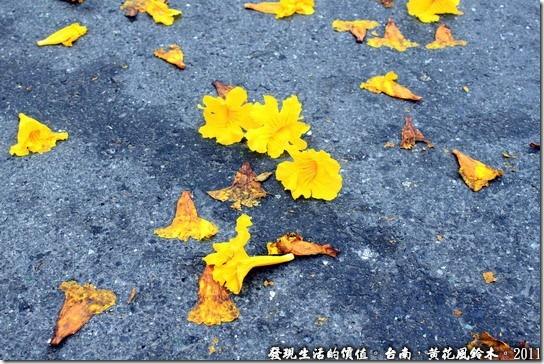 黃花風鈴木14