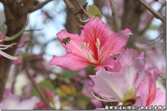 台南羊蹄甲06