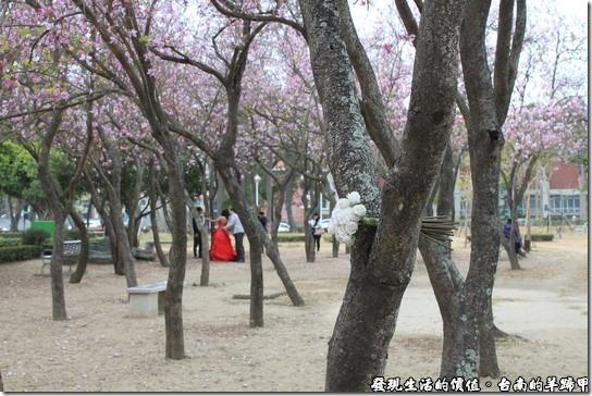 這是在台南公園拍攝的「羊蹄甲」,剛好有一對新人在拍攝婚紗。
