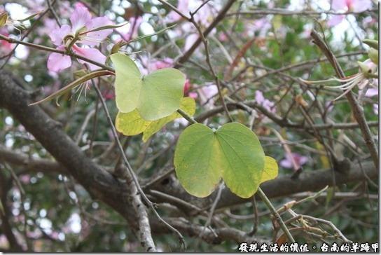 好不容易找到了「羊蹄甲」的樹葉,真的是羊蹄的形狀耶!