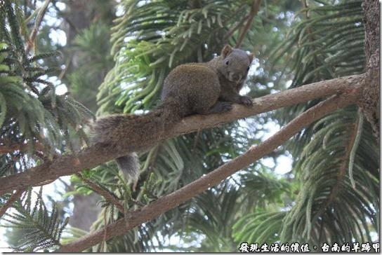 台南公園這裡有好多的松鼠,三五成群的在樹枝間跳躍,不時還會跑下地面覓食。