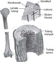 tulang kompak, tulang spons