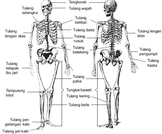struktur kerangka manusia