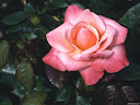 موسوعة رائعة من الورود 19