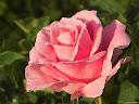 موسوعة رائعة من الورود 1