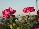 موسوعة رائعة من الورود 63