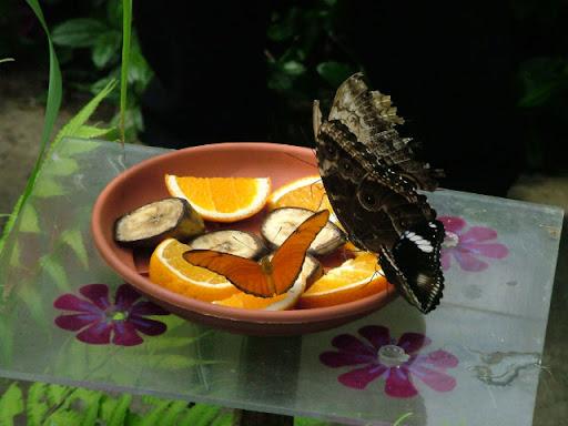 Keukenhof, Farfalla
