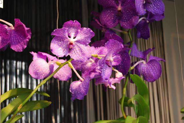Orchidee al Keukenhof