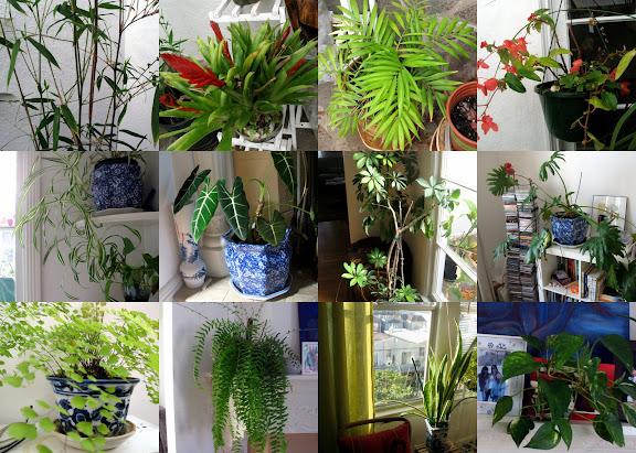 2009室内植物: 上至下,左至右:第一排:绿竹,空气凤梨/铁兰花-跟了我五年终于开花了,袖珍椰子,大叶海棠,第二排:吊兰,观音芋,七叶莲/鹅掌藤,裂叶喜林芋Lacy Leaf Philodendron,第三排:铁线蕨,长头发蕨(妈妈从金门公园花坊里收集来的种子自己种的),虎尾兰,绿萝