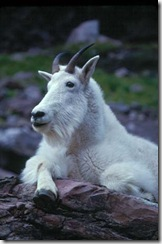 GNP_mountain_goat2_sm