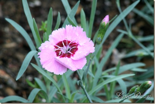 Dianthus_AntigueRose_May13