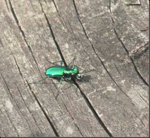 EmeraldBeetle2