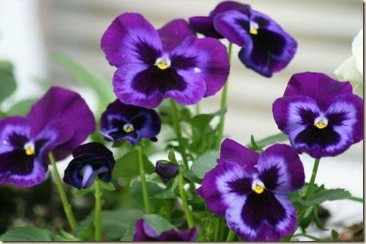 Pansy_Purple