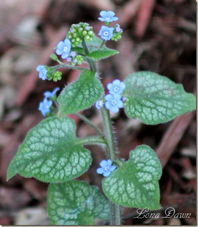 JackFrostBrunnera_April1