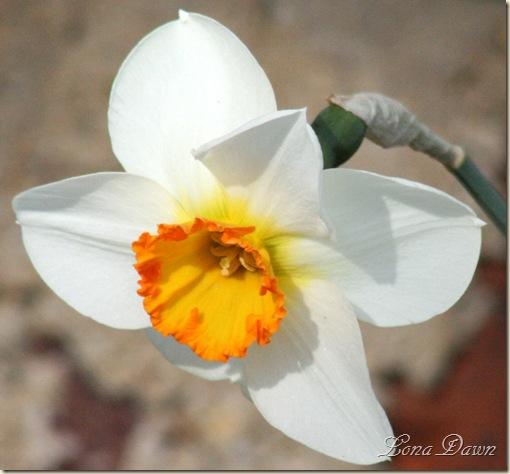 Daffodil2_March31