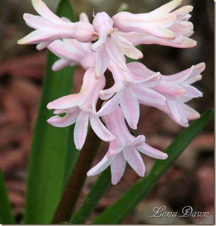 Hyacinth_Pink2