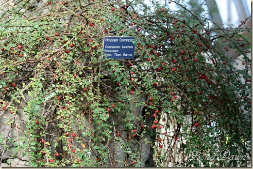 FPC_Cotoneaster