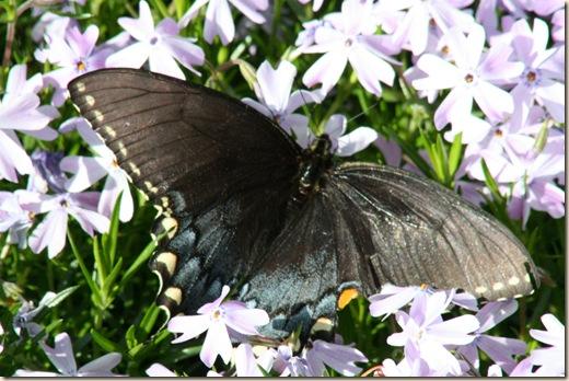 BSwallowtail2_Phlox