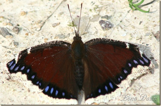 MourningCloak3