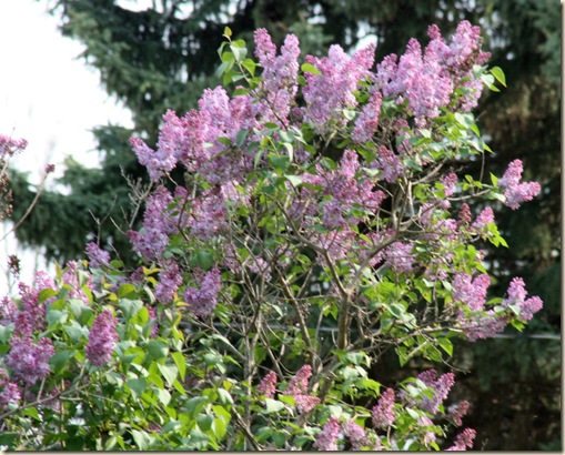 Lilac_Bush