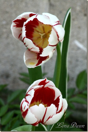 Tulip_Redstripes3
