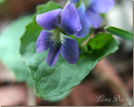Violet_Wild