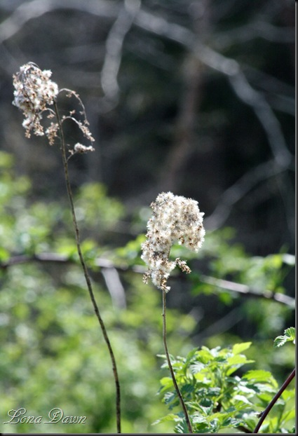 CH_Ironweed_Heads_Spring