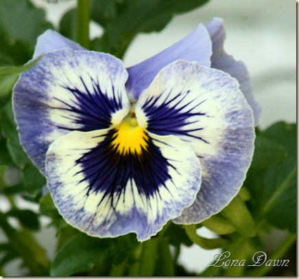 Pansy_BlueWhite