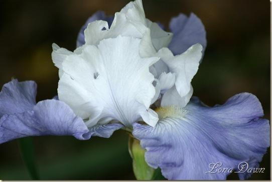 OutoftheBlue_Iris2