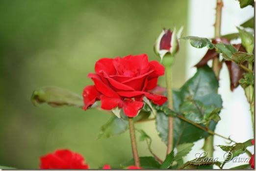 CrimsonBouquet_Rose_May24