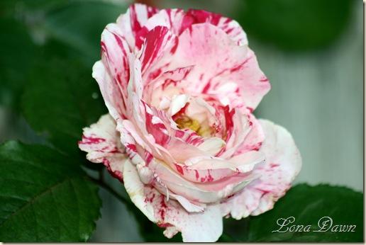 Rose_Scentimental