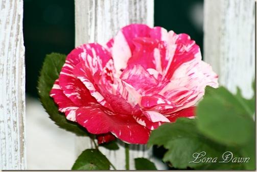 Rose_Scentimental2