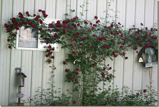 Roses_May24