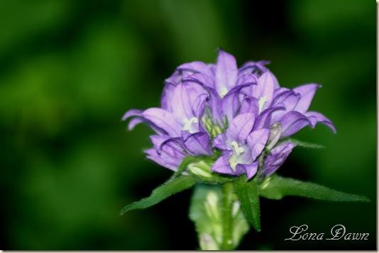 ClusteredPurpleBellflower