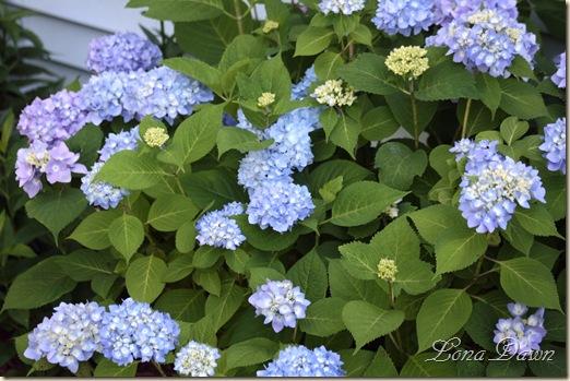 Hydrangea_Nikko_June8