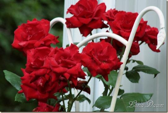 Rose_Crimson_June16