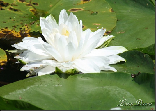 WNP_WaterLily3
