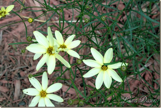 Coreopsis_Moonbeam