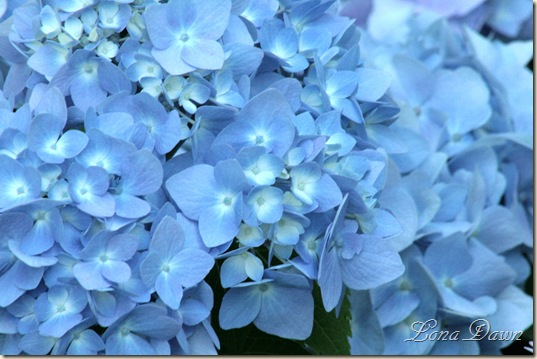 Hydrangea_Nikko_Blue2