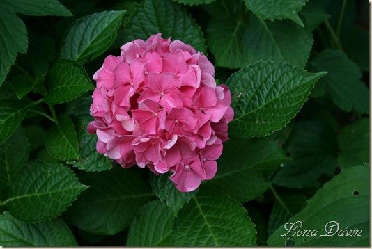 Hydrangea_AlpenGlow_July23