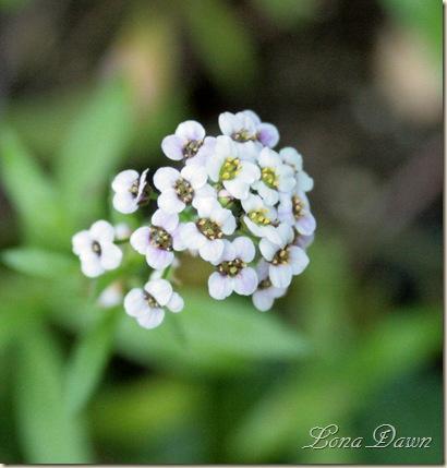 Alyssum_White